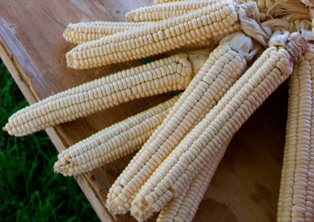 Oneida White Flint Corn