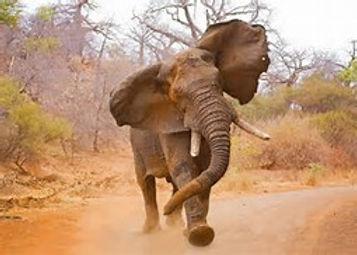 elephant attack,87.jpg