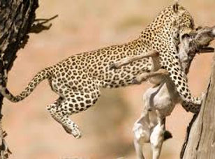kalahari,leopard,3.jpg