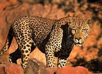 leopard,93.png