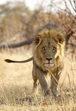 lion,111111.jpg1.jpg