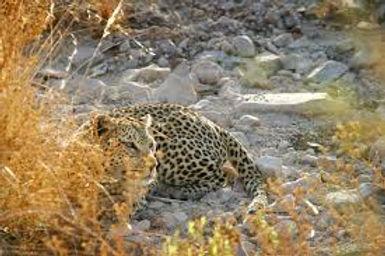 leopard,2.jpg