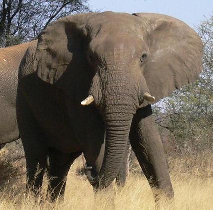 ondjou elephant small,2.JPG