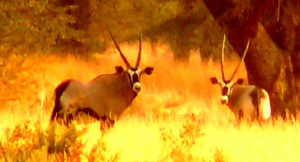 attach,oryx,3.JPG