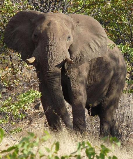 ondjou elephant small.JPG