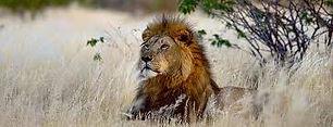 lion,4,ani.jpg
