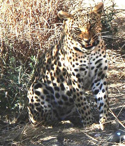 leopard,1.JPG