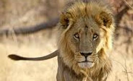lion,111111.jpg1 (2).jpg