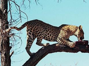 leopard,luder,2.JPG