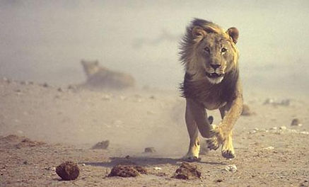 web,lion,111.JPG