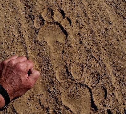 hob,lion track.JPG