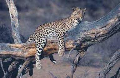 kalahari,leopard,4.jpg
