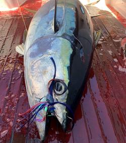 Big Yellowfin on the Tuna Flare
