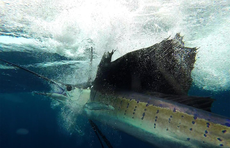 Sailfish WOW.jpg