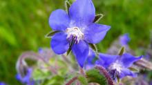 De nouvelles dates pour les Sorties Plantes Sauvages Comestibles !!