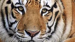 tiger-ts1511357158.jpg