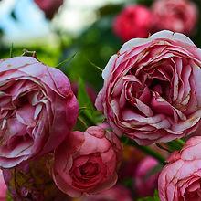 rose sherbet cardamom.jpg