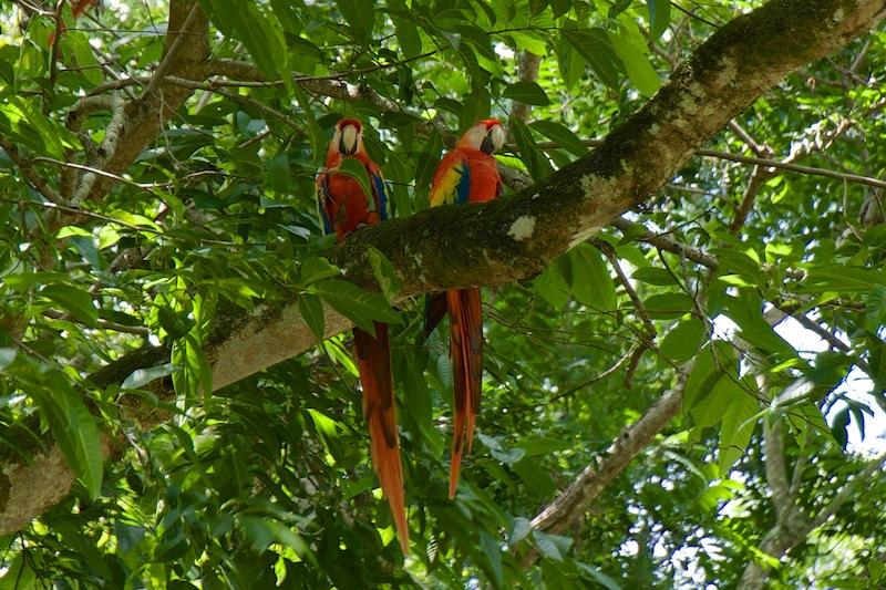 Honduras, Copan Ruines ; Macaw's (2)