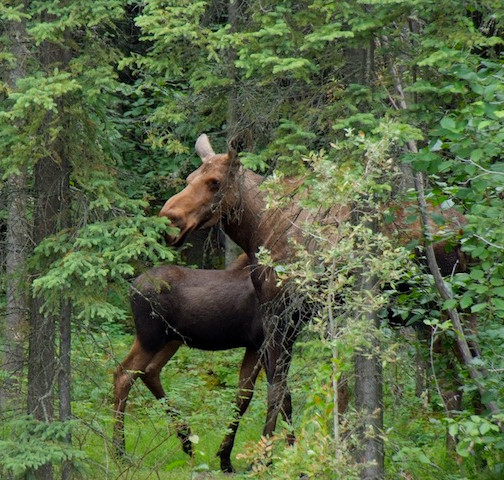 Alaska, North Pole; Moose