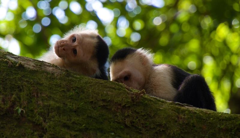 Costa Rica,Drake Bay; Monkeys (1)