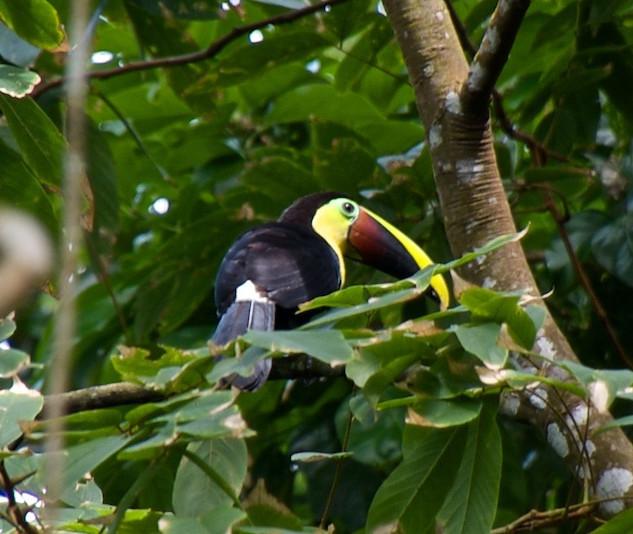 Costa Rica, Gandoca Manzanillo Wildlife Refuge; Chestnut Toucan