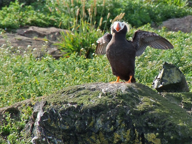 Alaska, Peters Bay; Puffin