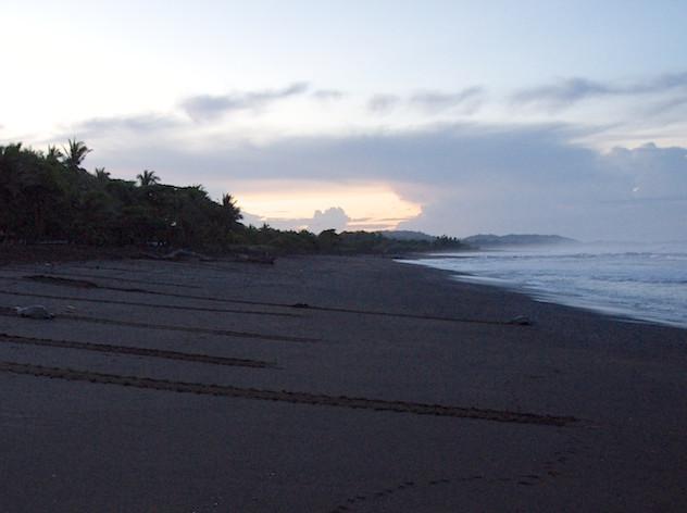 Costa Rica, Ostinal ; Olive Ridley Sea Turtle (5)