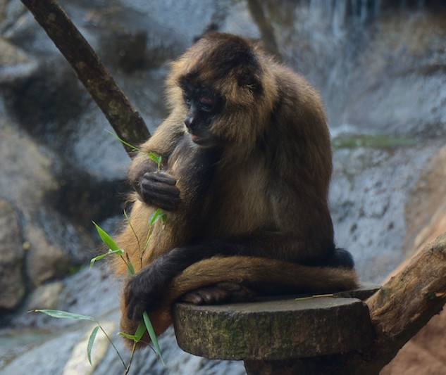 Costa Rica, La Paz Waterfall Gardens: Spider Monkey