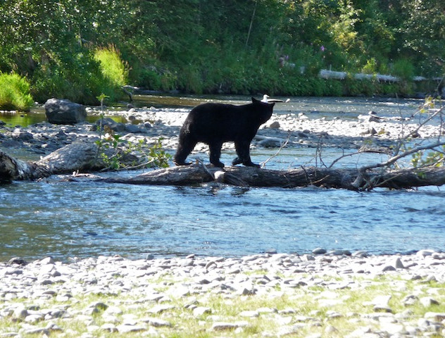 Alaska, brown bear by Russian River