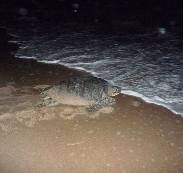 Frans Guyana, Awala Yalimapo; The Green Turtle (1)