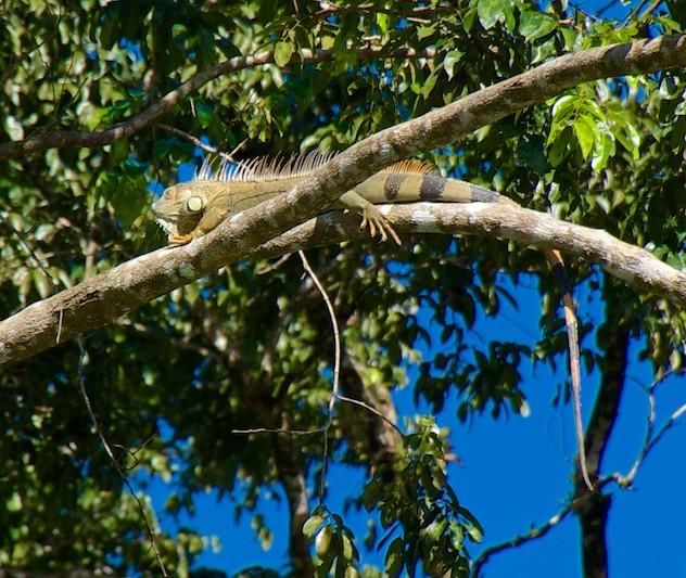 Costa Rica, Tortuguero NP; Iguana (1)