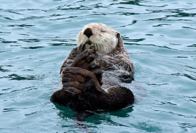 Alaska, Peters Bay; Sea Otter