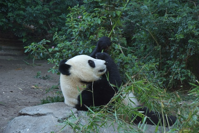 San Diego Zoo Pande 3