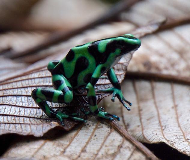 Costa Rica, La Paz Waterfall Gardens: Frog (3)