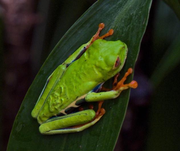 Costa Rica, La Paz Waterfall Gardens: Frog (2)