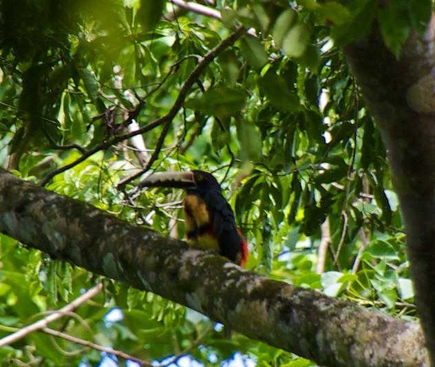 Costa Rica, Gandoca Manzanillo Wildlife Refuge; Oropendola