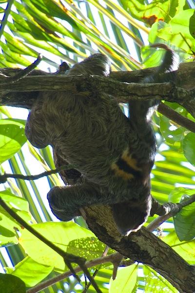 Costa Rica, Cahuita National Park; Sloth (1)