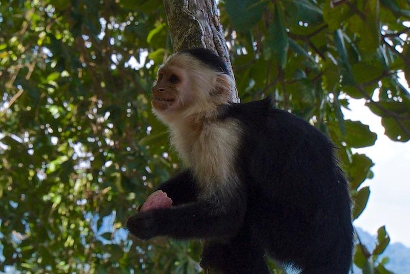 Costa Rica, Cahuita National Park; White-headed Capucin (2)