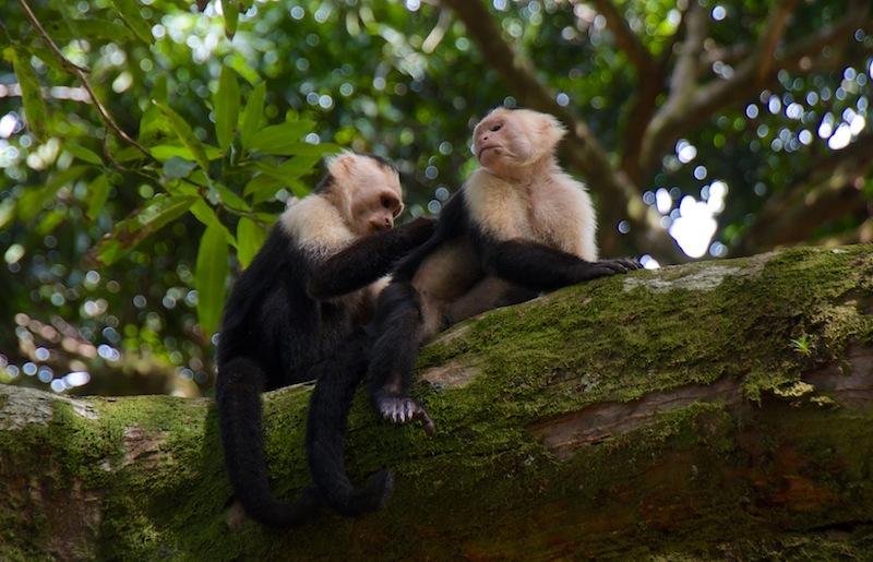 Costa Rica,Drake Bay; Monkeys (2)