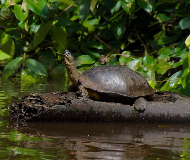 Costa Rica, Tortuguero NP; River Turtle