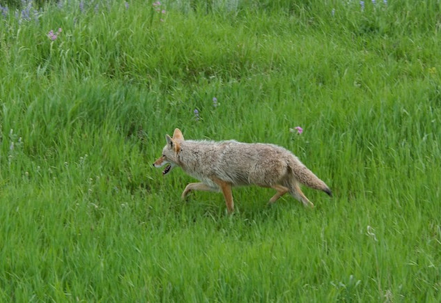 NP Yellowstone (7); Coyote