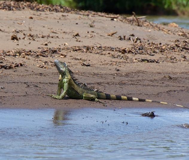 Costa Rica, Tortuguero NP; Iguana (2)
