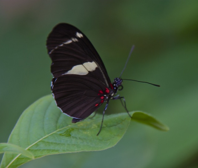 Costa Rica, La Paz Waterfall Gardens: Butterfy (2)