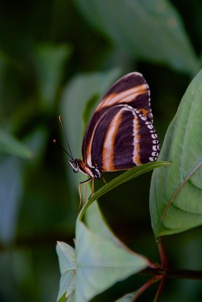 Costa Rica, La Paz Waterfall Gardens: Butterfy (1)