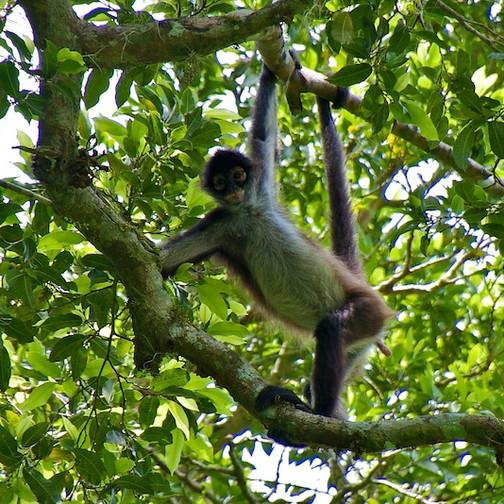 Guatemala, Tikal; Spider Monkey