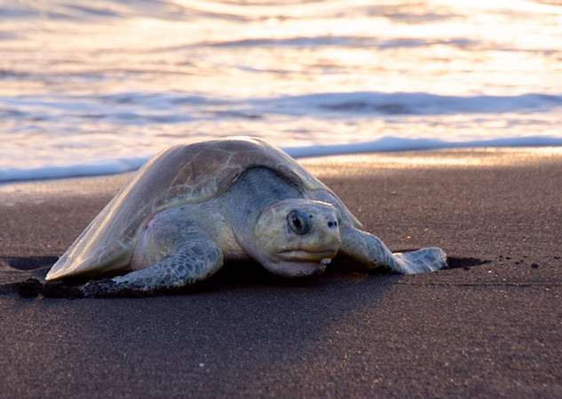 Costa Rica, Ostinal ; Olive Ridley Sea Turtle (3)