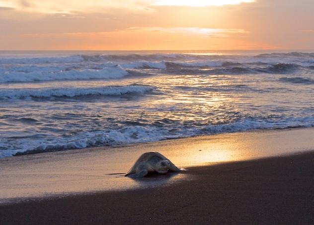 Costa Rica, Ostinal ; Olive Ridley Sea Turtle (2)