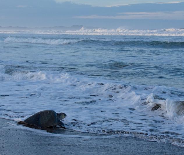 Costa Rica, Ostinal ; Olive Ridley Sea Turtle (8)