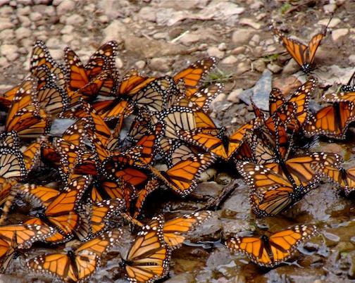 Mexico, Monarca Mariposa (9)