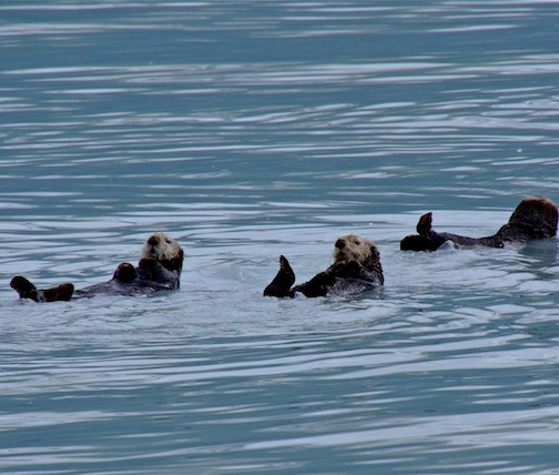 Alaska, Valdez; sea otters